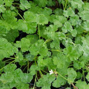 Pelargonio mela – Pelargonium odoratissimum