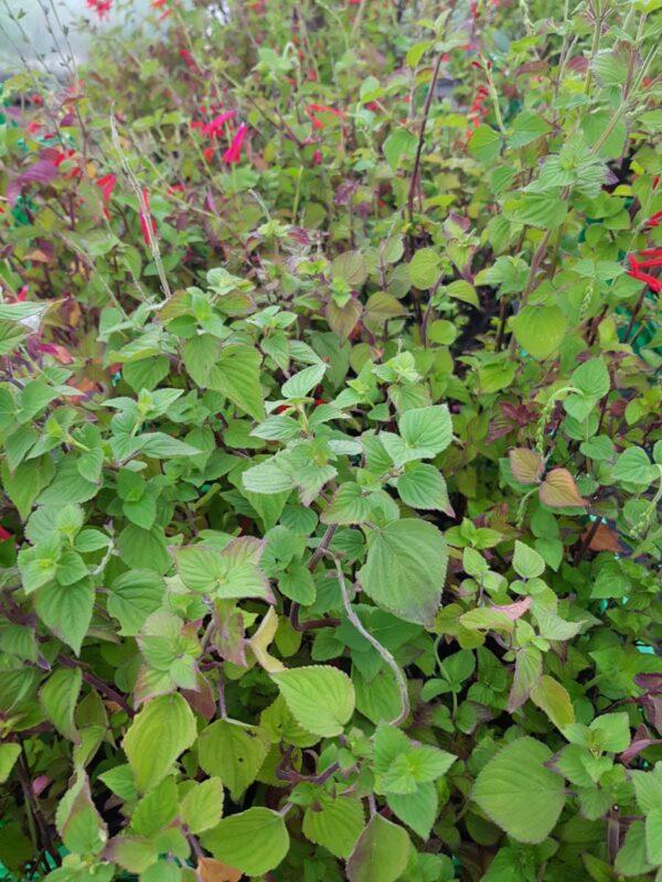 Salvia limone – Salvia elegans lemon